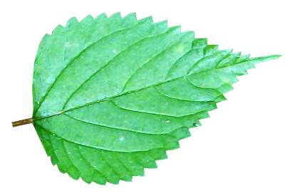 Patchouli-Leaf